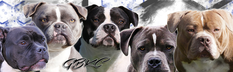 Exotic Bully - German Bully Kennel Club e V